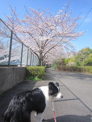1桜とサラ
