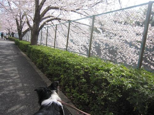 桜とサラ 3