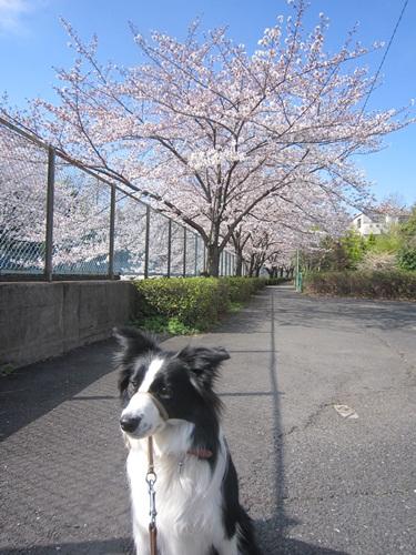 桜とサラ 2