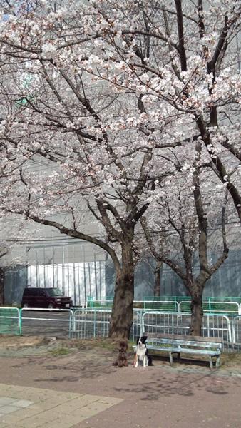桜の木の下で1