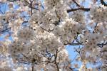 12年04月08日 お花見 050-1