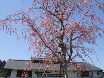 裏庭しだれ桜