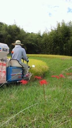 イセヒカリの稲刈り風景
