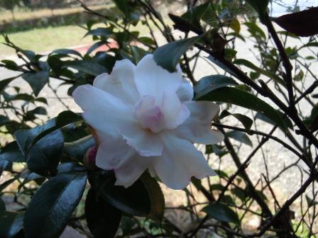 山茶花1(2012-11-02)