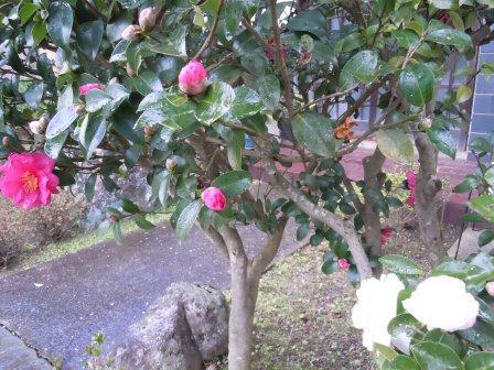 山茶花3(2012-12-09)