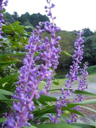 紫の花2(2011-09-11)