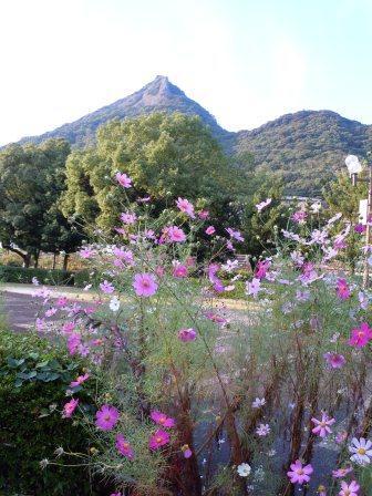 泉山磁石場コスモス3(2011-10-17)