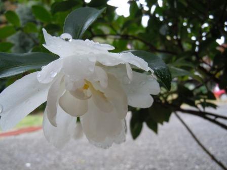 山茶花1(2011-11-06)