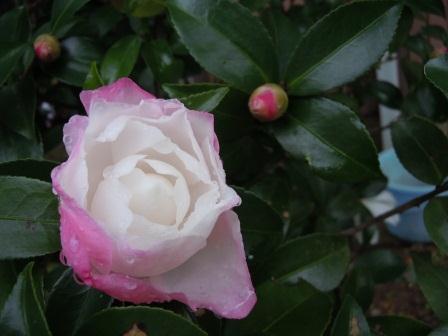 山茶花3(2011-11-06)