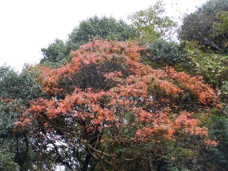 紅葉(2011-11-06)