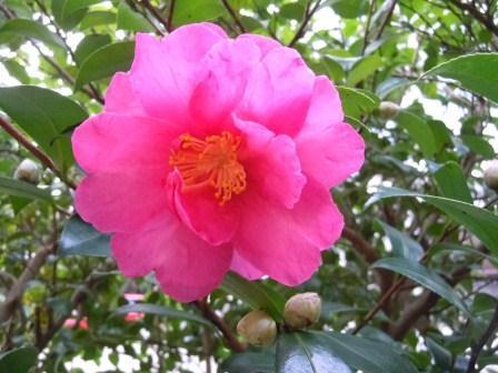 山茶花2(2011-11-12)