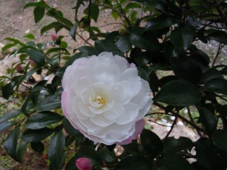 山茶花3(2011-11-12)