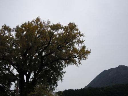 泉山大公孫樹1(2011-11-17)