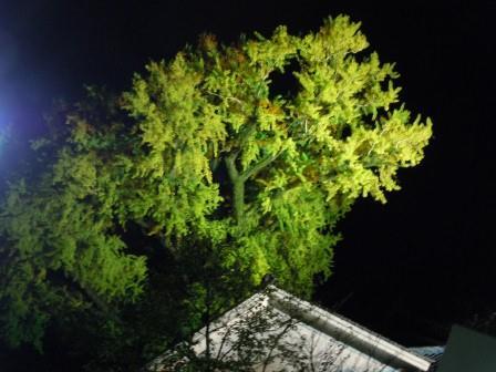 泉山大公孫樹ライトアップ2(2011-11-18)