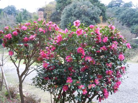 山茶花1(2011-12-11)