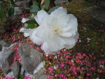 山茶花3(2011-12-11)