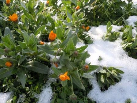 雪に咲く花(2012-02-04)
