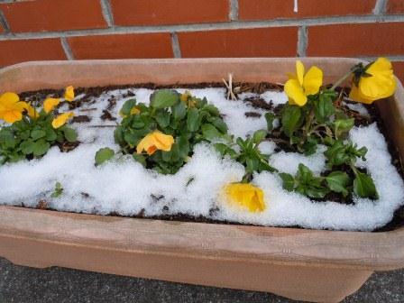 雪に咲く花2(2012-02-04)