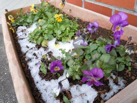 雪に咲く花3(2012-02-04)