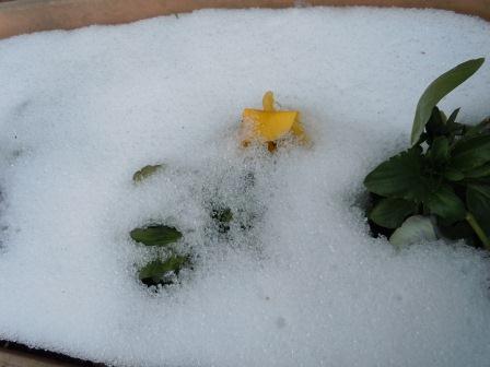雪に咲く花4(2012-02-04)