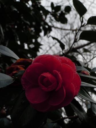 山田神社椿2