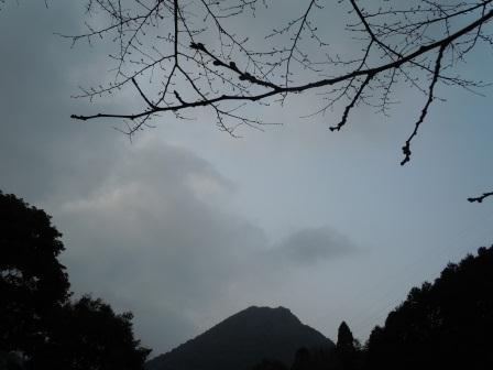 桜のつぼみ(2012-03-17)1