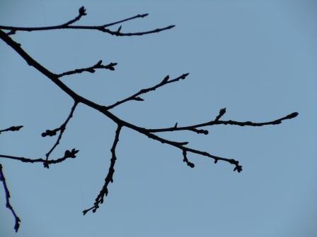 桜のつぼみ(2012-03-17)2