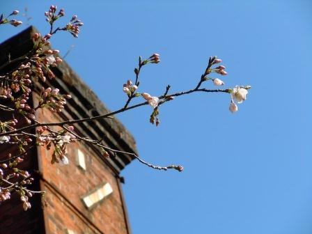 我家の桜1(2012-03-31)
