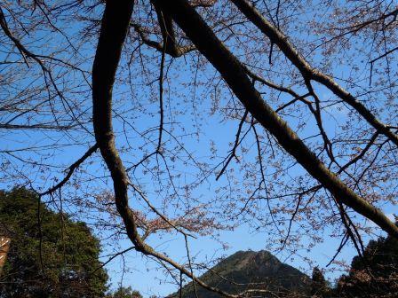 我家の桜3(2012-03-31)
