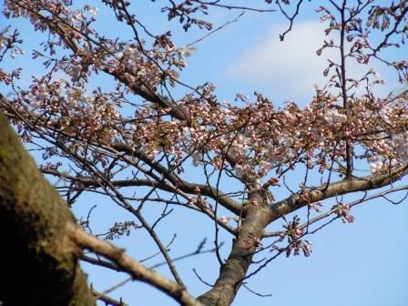我家の桜5(2012-03-31)