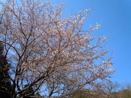 我家の桜3(2012-04-01)