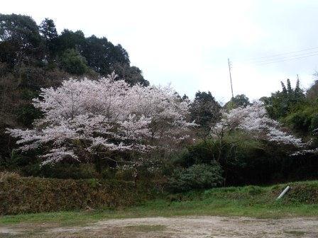 我家の桜1(2012-04-03)