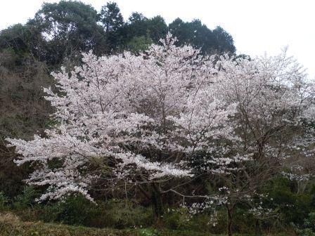 我家の桜2(2012-04-03)