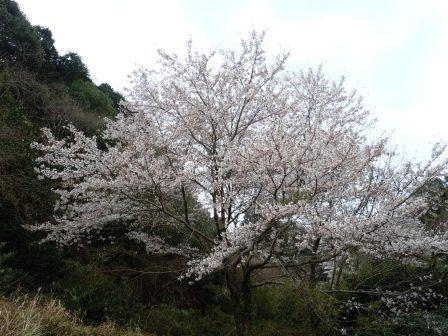 我家の桜3(2012-04-03)