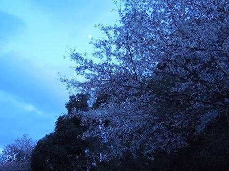 我家の桜5(2012-04-03)