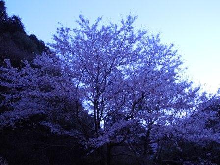 我家の桜6(2012-04-03)