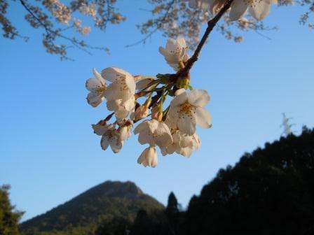 満開の桜3(2012-04-05)