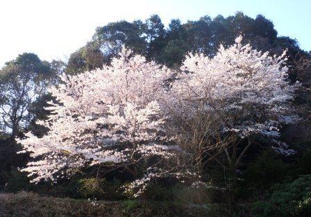 満開の桜1(2012-04-05)