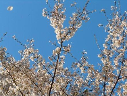 桜の舞2(2012-04-07)