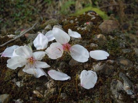 桜の舞3(2012-04-07)