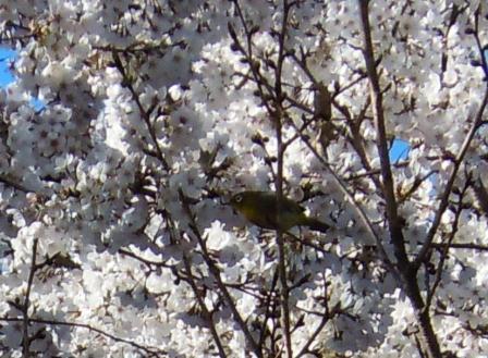 桜とメジロ(2012-04-07)