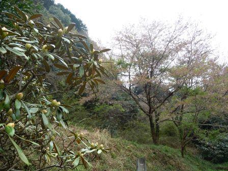 シャクナゲと葉桜(2012-04-14)