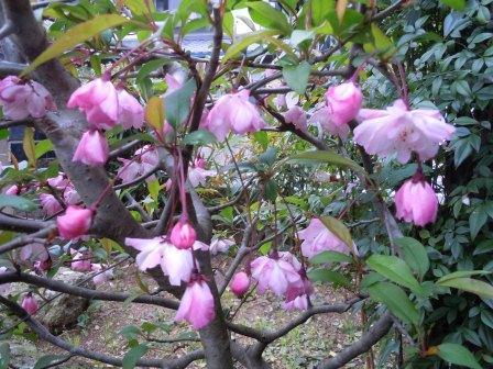 ピンクの花(2012‐04‐14)
