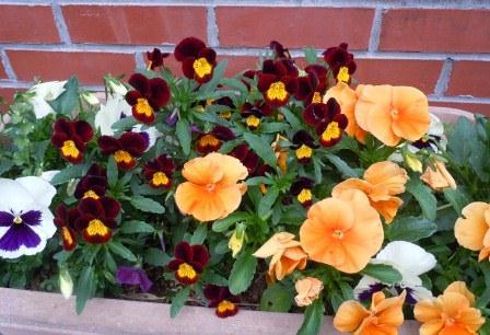 春の花6(2012-04-21)