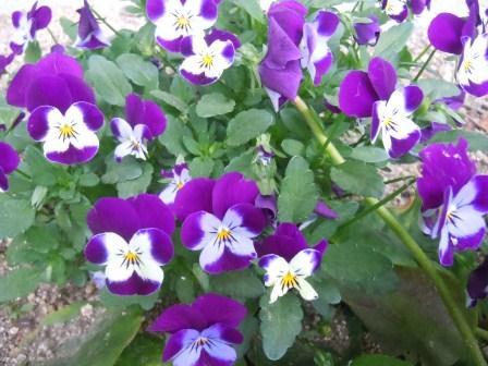 春の花4(2012-04-21)