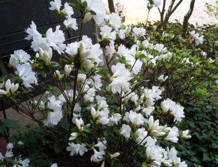 ツツジ1(2012-04-26)