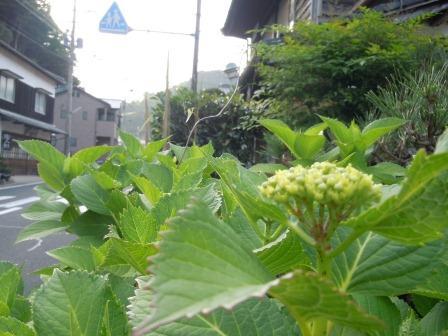 紫陽花4(2012-05-17)