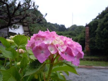 紫陽花1(2012-06-02)