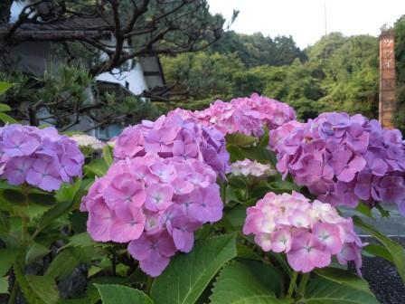 紫陽花(2012-06-11)