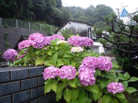 紫陽花1(2012-06-16)